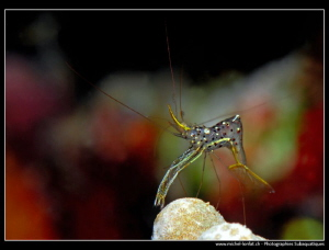 Transparent Shrimp... Night dive. by Michel Lonfat 